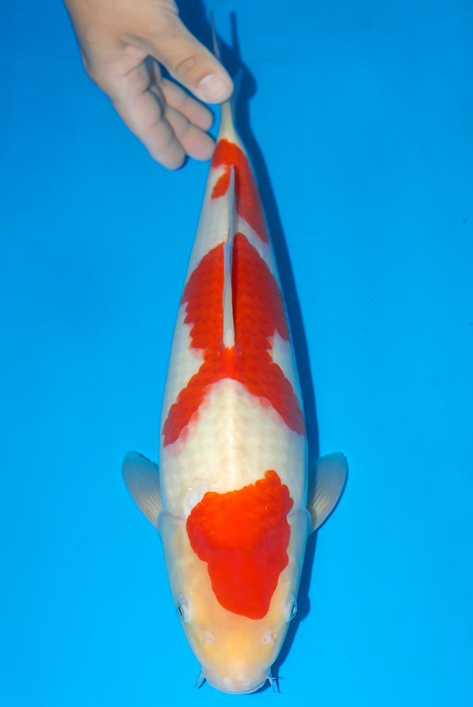 Nisai Stars: Kohaku, 53 cm