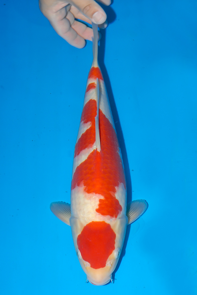 Nisai Stars: Kohaku, 52 cm